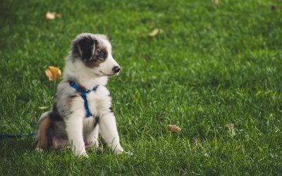 harnais pour chien réglables
